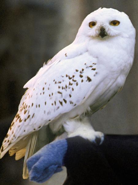 Funko Pop Figurine Hedwig (Harry Potter) #76
